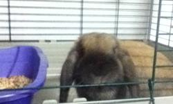 5 month old bunny, comes with cage (32L 19W 16H) water bottle and dish. Please call/email for more info 5484523 This ad was posted with the Kijiji Classifieds app.