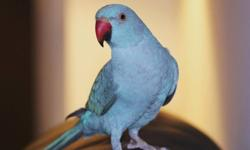 MISSING BIRD:   Our Beloved INDIE  Species:                               Indian Ringneck Parakeet Sex:                               Male Date of Birth:                    March, 2010 Coat Colors:                      Turquoise (primary), Blue
