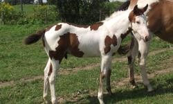 Handsome Bay and white overo colt....has a vivid black sock.  Born June 1st.  This colt has an awesome personality, very inquistive with great presence.  Should mature around 15hh with a nice stocky build.  Will be weaned in October, dewormed, leading,