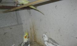 I have for sale Hand raised Cocktails, Baby Peach face Love birds and baby Fishers  Pleases call Armindo at 905 451 8943. Do not email as i am posting this for someone