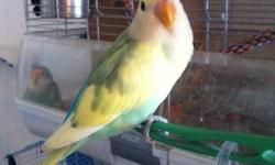 """Hi , im selling my 2 lovebirds, There about 8 months old, I'm asking $40 each.  they are semi tamed because i didnt have time for them anymore. they are easy to tame them, Each of them were hand fed and raised.  They know how to """"step up"""" on to your hands"""