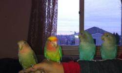 Hi I have 4 lovebird for sale 2 pairs they are about 5 months old $45.00 each no cage This ad was posted with the Kijiji Classifieds app.