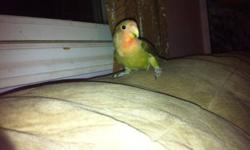 I have one male baby lovebird left he is 5 to 8 months old very frendly $45 no cage This ad was posted with the Kijiji Classifieds app.