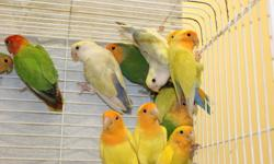 For Sale   Various colour mutations of peach faced lovebirds. Please visit my website and check the FOR SALE section for more information. http://lovebirdsontario.tripod.com/   Peach faced lovebirds $50.00 to $75.00 each