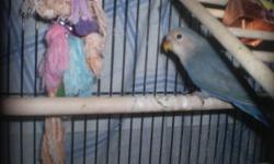 I have a beautiful couple of  lovebirds with their baby for sale. comes with the cage and toys.First pic is the 2 1/2 month baby, second is the dad and forth and fifth is mom, she is going to lay eggs soon.It will be her second time.
