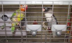 selling as pair. beautiful but not enough time spent with them. never been out of cage but are trainable > 4 years old and healthy . 2 lovebirds and vison cage. premium cage  unsucessful breeding pair but great pet