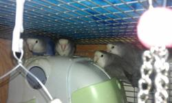I have 3 adult lovebirds for sale as well as 4 hatchlings that will be ready to go in about a month to 6 weeks, to good loving homes.  There are 2 more eggs pending for a total of 6.  These birds make fun interesting pets with their clownish antics and