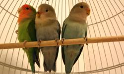I have two 3 month old lovebirds. They have a white/gray face, olive colored bodys and torquise blue backs. Unique colors and beautiful bords. You can reach me at (778)212-0183