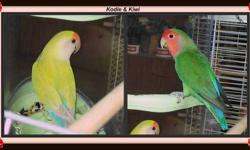 I have several pairs of lovebirds looking for new homes They MUST go in the pairs shown as they are bonded together Serious Buyers ONLY please I do have some travel cages available as well.. Delivery is not an option, must be picked up ALSO willing to