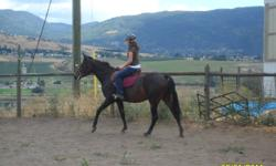 """""""Trix"""" is a lovely 4 year old bay morab mare.  She is fully going under saddle both English and Western Pleasure, with 3 lovely gaits and has even begun some jumping.  She is a simple ride, very bold, with a fun spirit about her.  She has had professional"""