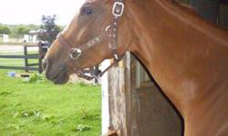 Beautiful 4 yr old registered thrbrd mare.. this girl has beautiful movement that will allow her to excel in the show ring. currently she is wtc, and doing ground poles, she has been lunged extensively and long lined,,she has free jumped and has fantastic