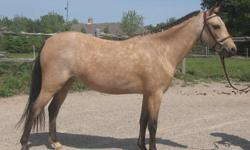 Lovely 5 year old 12hh Welsh mare. With her super conformation and light forward movement, Willow will make an outstanding A circuit hunter pony. Started under saddle by an A circuit rider. She has been doing walk, trot, canter and has been started over