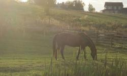 I am looking for a loving horse knowledgeable home for my ten year old appendix gelding. Due to an injury he is no longer sound for riding ( can pack the grand-kids around the yard). He is great with other horses and would make a fantastic companion
