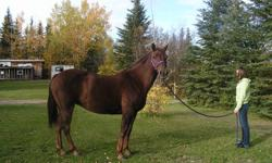 Nova, is a 10yr old mare and very loving. She is sweet and respects everyone. She is the first to meet you when you go out and always wanting attention. She is patient, well mannered and calm. Stands nice to get saddle and for farrier. She loves the