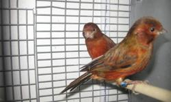 Mhogany canaries for sale ready to breed $90.00 for the couple {{ONLY  ONE   COUPLE LEFT }}please call 416-201-6988