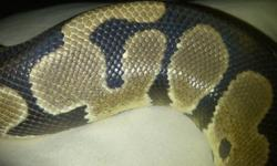 i have for sale is a healthy 3 year old proven male 100% het pied. looking trades for other ball pythons such as spiders, pastels or any other morphs no normals. I can spend some money if needed but rather straight up trade. If you just want the bp it is