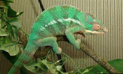 Awesome Price for such a beautiful reptile!!! Beautiful rainbow colors. Very Friendly. Panthers are amongst the easiest to care for compared to other types of chameleons. Requires a 24X24X48 cage with 5.0 UVB lighting. And a heat/basking lamp. Panthers
