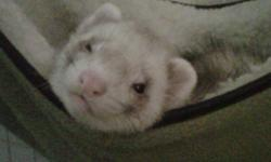Male and female ferret for sale, both are just over a year old, have been fixed and had their scent glands removed. Must be sold together, as they have lived together their whole lives. Cage, food, litter pans, treats, grooming supplies, How to train your