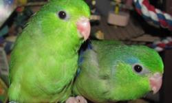 Pretty green parrotlets available this weekend (the end of October) there are males and females all from the same clutch. $60 each CALL 519-345-2986 These are not a great pet for small kids as they can easily be mauled since they are so tiny.