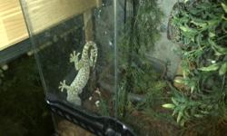 I have a pair of Tokay geckos for sale along with the fixture they are in. My sister just had a baby, and no longer has the room for them. Pair plus terrarium- 125 Pair-110 1 plus terrarium- 80 each- 60 I am sorry for the bad quality of photos. Please