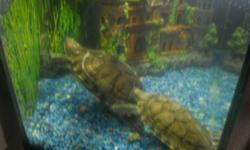 Looking for a new home. Friendly male and female turtle's 2 years old with large tank , cover lid and halogen lamp new filter pump resently purchased for $80.00 other accessorie included  turtle resting stone ,ladder , castle, gravel. Reason for saling