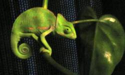 I have two young veiled chameleons available (hatched in 2011). There is a male and a female available, so you have a little selection :) I am asking $75 each. I have included photos of an adult male and an adult female so you can see what you will wind