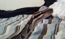 selling: male is about 29-30inches long, the tank is 30 inches long, friendly, comes with tank, heat pad, hiding spot, feeding container, and wood piece, hes a het asking 150.00 obo for everything,  or 100.00 obo for just the snake, email, call