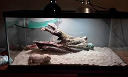 Healthy active bearded dragon aqmale for sale also comes with 45 gallon terrarium both lights you need sand log hammock dishes cricket keeper vitamin supplement calcium supplement everything you need.