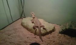 Male Bearded dragon for sale with a 110 gallon tank, feeding dish, light source, heating rock, 2 heating pads, medium size bridge for cool spot, and water bowl. All included in price. Looking to sell asap. Call or email if interested.