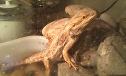 Ren is a yearling bearded dragon male. Friendly, but will cage guard. Eats mostly veggies, fruits, and pellets. Gets meal-worms or crickets once per week. Weaker front foot, broken in the past. Loves celery. Adoption fee $50. loves women, okay with cats