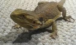 I have a male Bearded Dragon I need to find a new, loving, experienced owner for, who can provide him with everything he needs and deserves, including a minimum 40 gallon enclosure, correct UV lighting, and a proper diet.  I have my hands full, and I