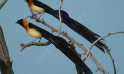 This bird is original from Etiopia,Africa ,the Tail is longer 35 cm but just 6 months in 1 year.very nice singer bird.