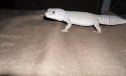 year and a half old blizzard leopard gecko, currently eating well on crickets,mealworms,superworms, always dusted. great pet just no time for him! any other questions you would like to know about him please email me mailto:****luke.w_44@hotmail.com ****
