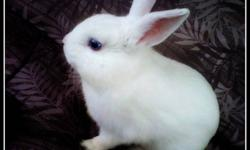 i am selling my bunny because i cant take care of him & he sits in a cold basement every day & i just want him to have a better home :( all white blue eyes , about a couple months old , friendly . cage & food dish included . $65 remember taking care of a