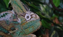 Karma is a three year old veiled chameleon.  He eats butterworms and silkworms. He comes with two cages, one glass and one mesh, three sets of lights, a waterfall, all of the accessories. He is handled a fair amount but most enjoys his artificial tree and