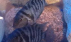 I have a over abundance of male convict cichlids I would like to trade some for female convicts. If anyone has some females please contact me. This ad was posted with the Kijiji Classifieds app.
