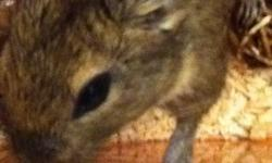 I have a 5 month old male degu to give away. He unfortunetly doesnt get along with my other two males and I cant keep a seperate cage for him any longer. He should be kept alone or tried out with a different degu. I do not have a cage for him that is why