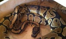 Hi. I have a 2010 male normal. He's a pretty early 2010 and is about the same size as one of my breeder males im using now. Great feeder. Currently on a small live rat weekly but will take fresh kills and thawed. He is 60$ or will trade for 2 baby slider