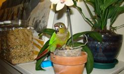 My 3 year old green cheek conure 'Jack' is living a tormented existence since I moved in with my boyfriend, his two cats and a dog. I am affraid to take him out in their company as they are fixated on him and will lunge if he flies anywhere he can be