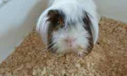 Elliott is a long-haired, fun-loving male guinea pig.  He doesn't mind being handled.  You can have fun bathing, grooming, petting, and feeding Elliott and he will be sure to make you smile.  He looks like a mop but his personality makes up for it!