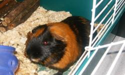 i have a male guinea pig he is about 9 months old he is really good with kids and loves to i don't have a cage for him as he is in the top half of my farret cage and once he is gone i will need the top so i can't sell it but he will come with the rest of