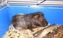 Cocoa is a male guinea pig that was surrendered to me on Monday. He is currently housed in a cage 30x12x12 inches that will be included in his adoption. He is around the year mark and was previously housed with a female. I don't know how he would get