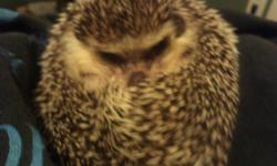 Male hog.Roughly 8 months old. Just not spending enough time at home to be with him. Hedgehogs need daily interaction, or they forget you. His name is Shadow, and he needs someone that has time for him. He comes with his home, wheel, food dishes and some