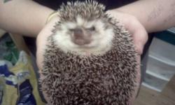 Hello I have a 2.5 year old hedgehog for sale. He is eating a high protein cat food diet with occasional treats. He was never a big fan of crickets/superworms etc, but loves his cooked meats. He loves to run on his wheel, and is super friendly wants he