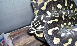 Hi,   I am selling my male Jungle Carpet Python. Details below.   Age: 3 years Proven Breeder Eats: Medium/Large F/T Rats once a week Sex: Male Size: 5 Feet   Gorgeous colouring with very high yellows and an amazing velvety black pattern. He has a great
