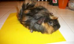 light brown and black long haired Guinea pig (male) he has brown eyes 12 week old (3 months) really friendly he would come with food, a playing pen and a small cage....