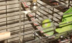 1 male Parrotlet green with cage and toys included gr8 deal cage and toys alone are worth over 300 dollars.