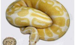 I have upgraded my male breeders and no longer need to work with these fellows this year. Some wicked deals on 'ready to go' male ball pythons for anyone just getting into the hobby!! Priced the same as hatchlings, without the wait. Will deliver to