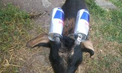 Ultra friendly, fixed goat.  Great companion.  Loads of entertainment.  I'm back in school now and unable to give Billy the attention he needs.