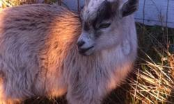 I have various Pygmy Wethers and bucks for sale! All super friendly just no room in the barn! Would make excellent children's pets or great for petting zoo. This ad was posted with the Kijiji Classifieds app.